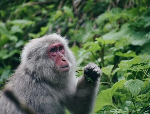 How to visit Japan's Snow Monkey Park